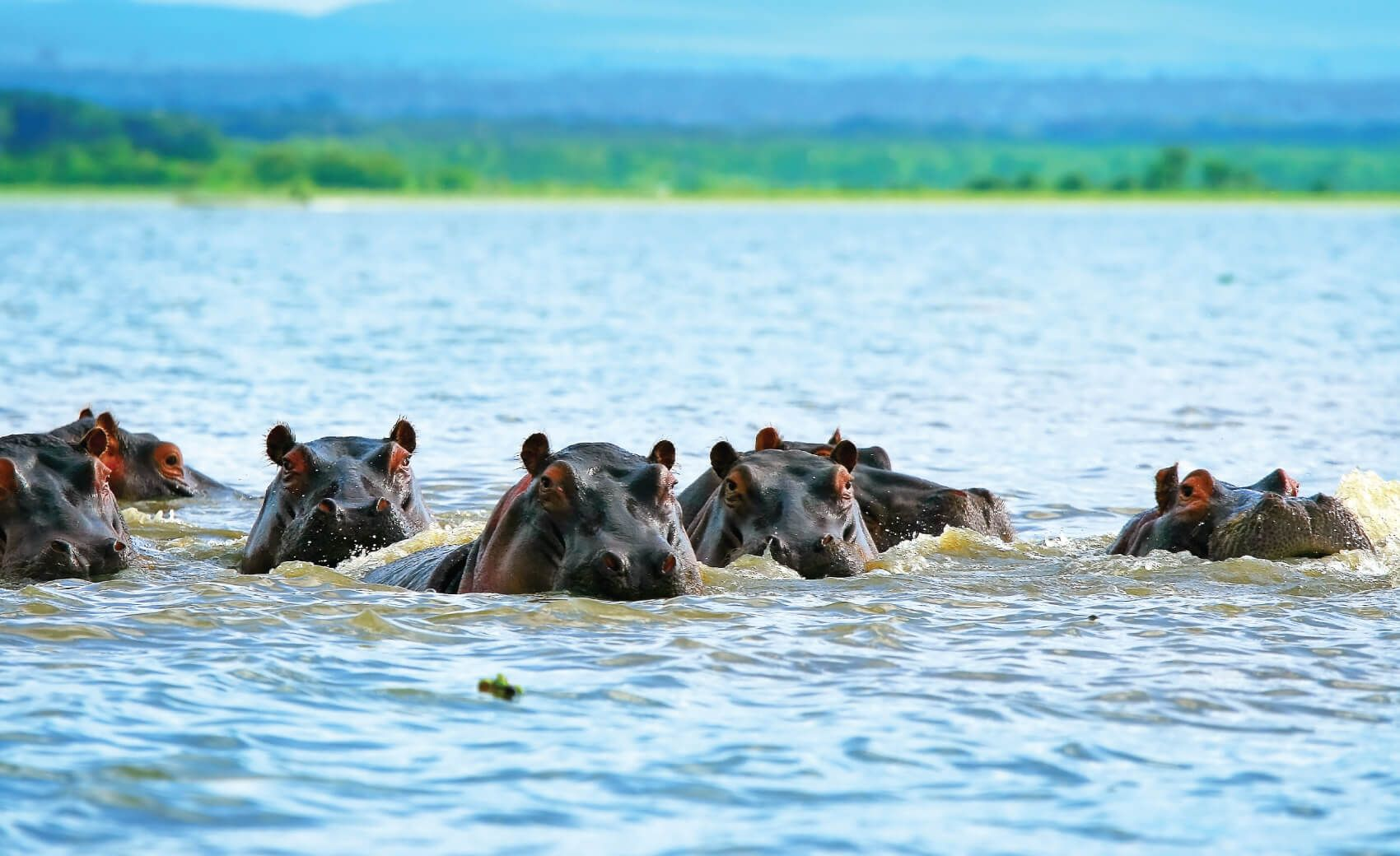 Family of hippos on Lake Naivasha