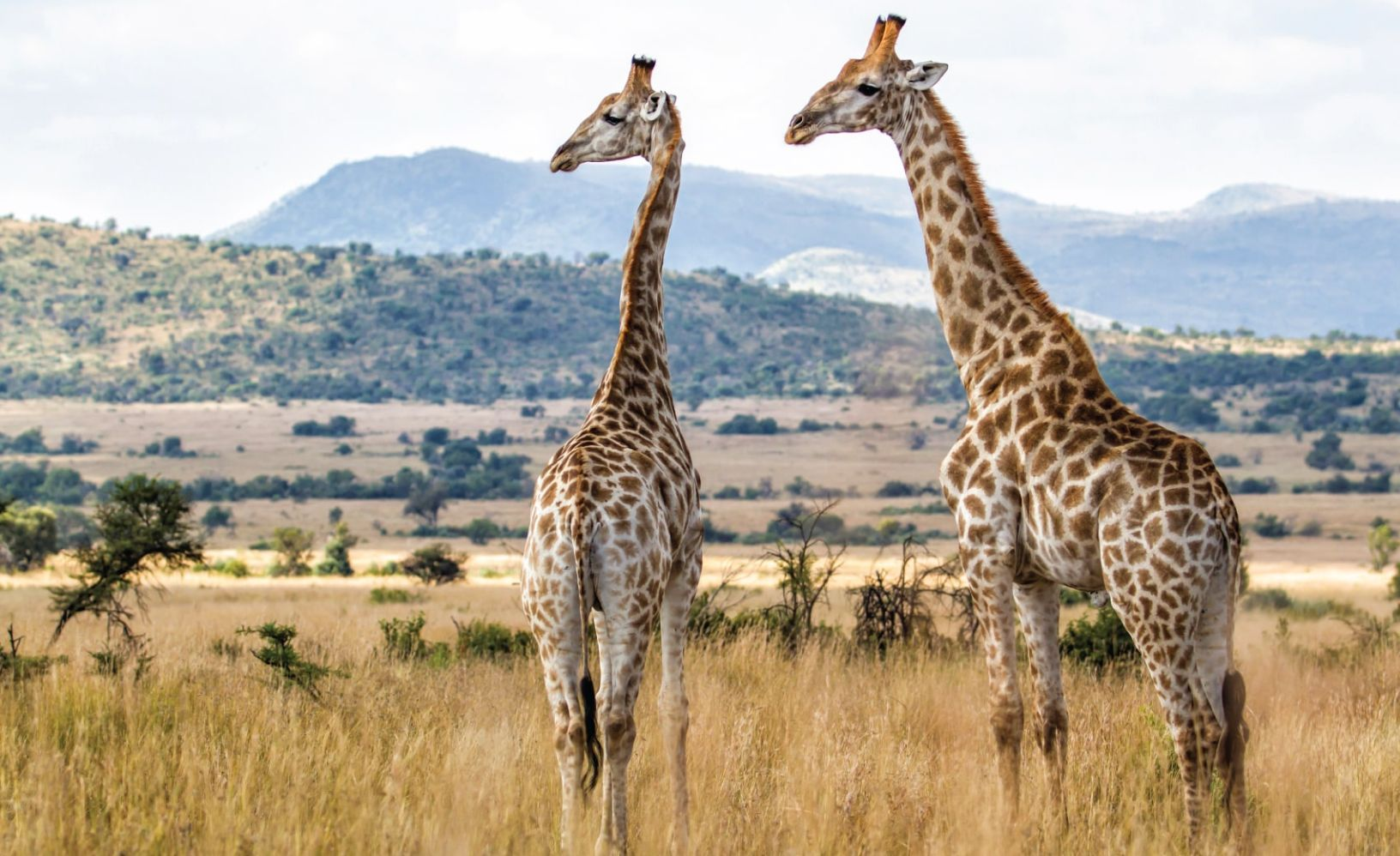 Two giraffes in Pilanesberg National Park in South Africa