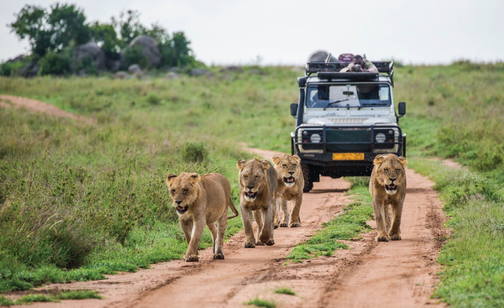 Lionesses walk along the road against the backdrop of a car with tourists- Masai Mara